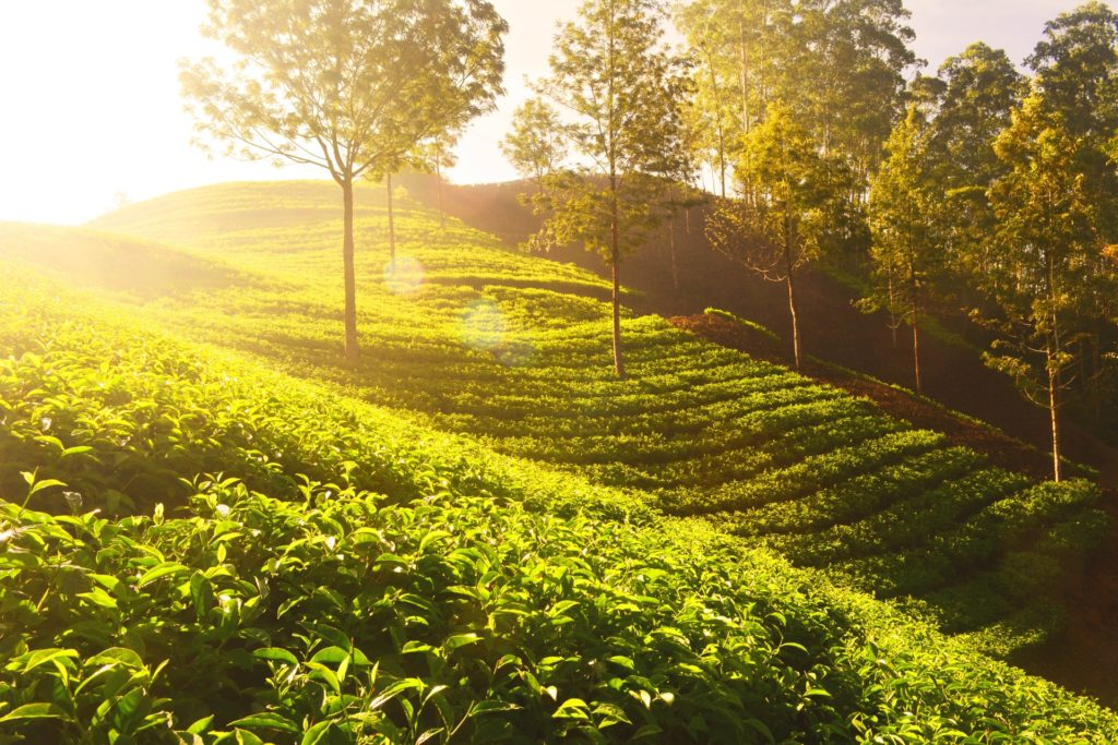 Where does white tea grow?