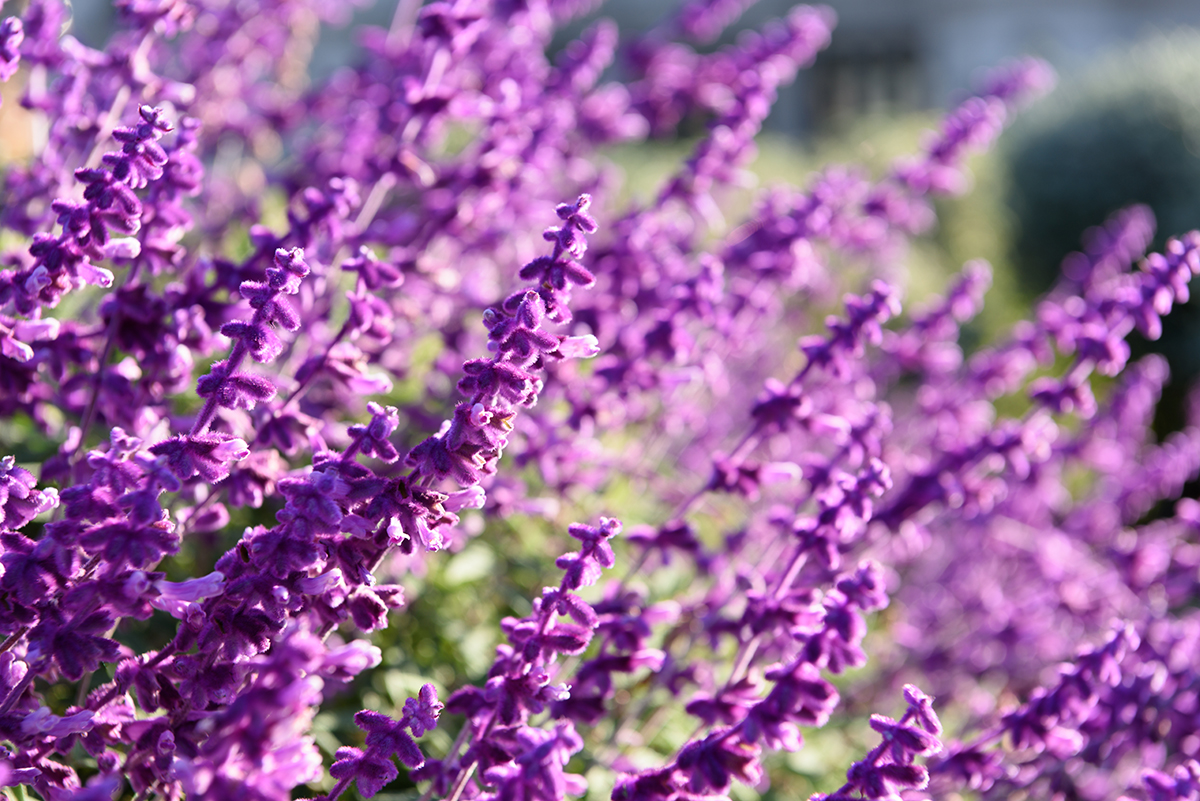 History of Lavender